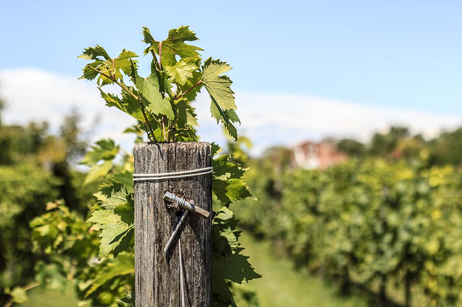 Vini di Venezia - Mazzorbo